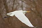 Great Egret (Egreta alba)