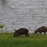 Capybaras (Hydrochoerus hydrochaeris). Laguna Tinije, 186 m (Casanare, Colombie), 5 novembre 2015. Photo : J.-M. Gayman