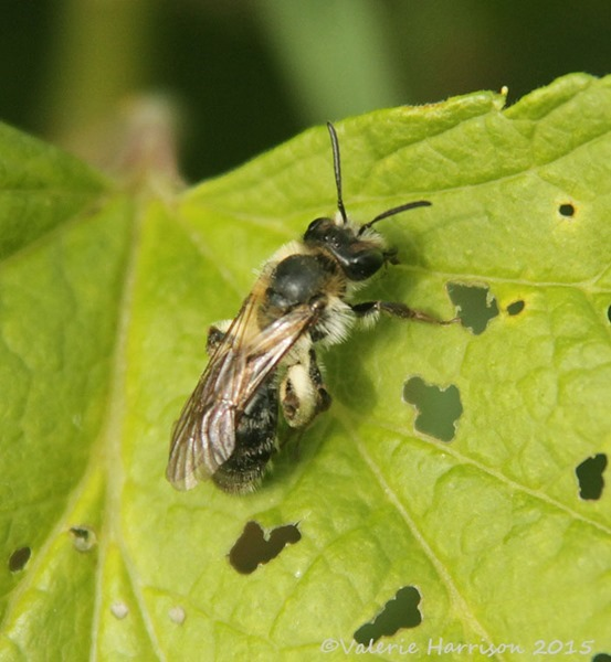 small-bee