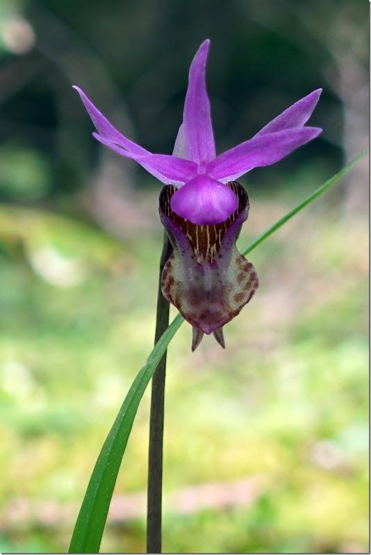 lopez orchid 041918 00002