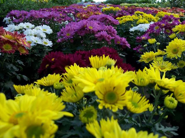 cultivo de plantas florales perennes - Copia%2Bde%2B100_0299.JPG