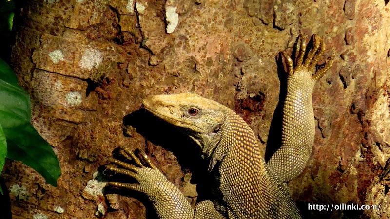 Monitor lizard climbing to a tree