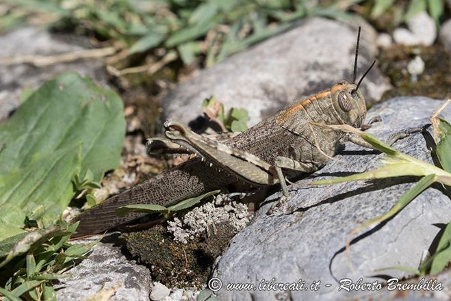 14-Locusta-egiziana_Varenna_003