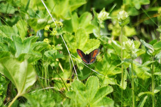Erebia ligea (L., 1758). Fex Platta, 1850 m (Grisons, CH), 10 juillet 2013. Photo : J.-M. Gayman