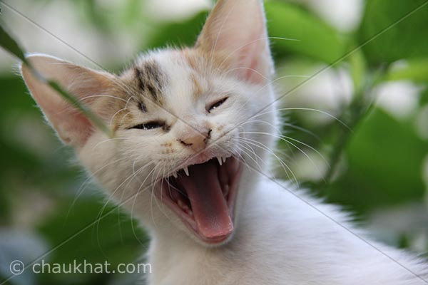 Photo of kitten - Yawning