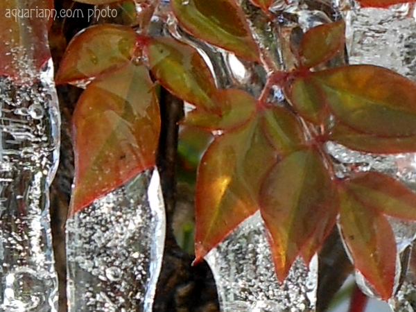 Burning Bush Icicles Photo By Aquariann