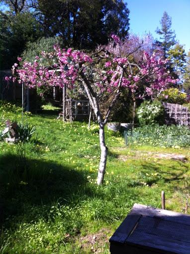 My favorite peach tree blooming last spring.