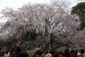 東京の桜を散策
