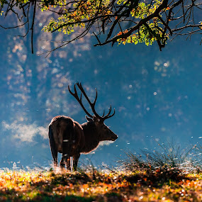 Deer Breath by Michael Ripley - Animals Other Mammals ( tree, autumn, sunrise, stag, deer, breath )