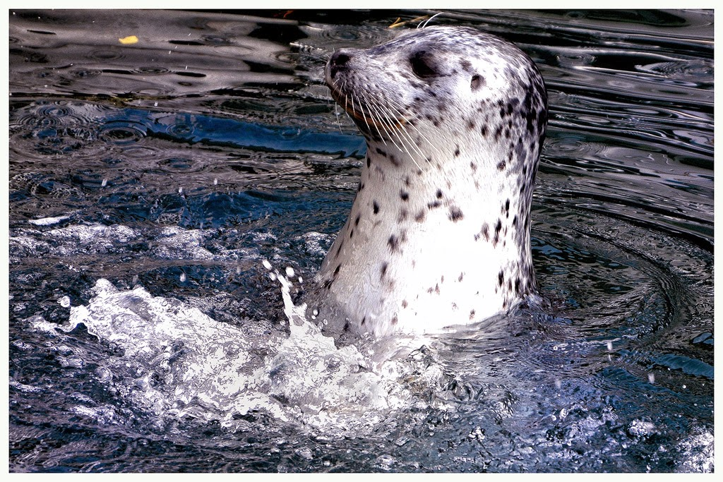 """Harbor Seal"" by John Cook -- 1st Place Digital Special B"