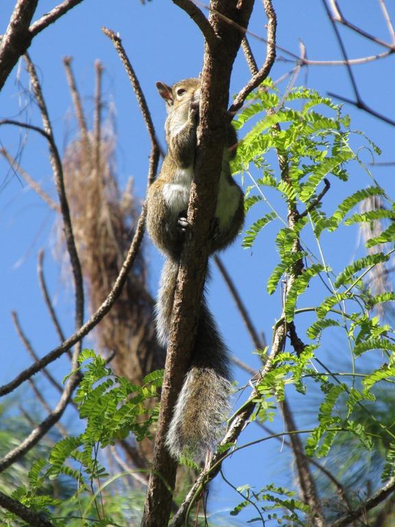 [Southern+Gray+Squirrel+Mammal+%284%29%5B6%5D]