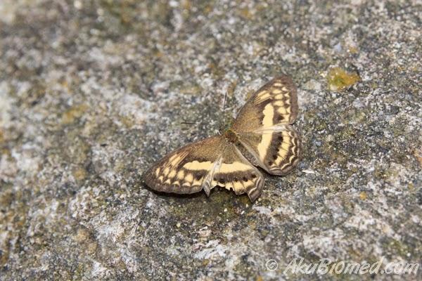 kupu-kupu diatas batu