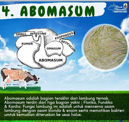 Lambung Ruminansia Abomasum