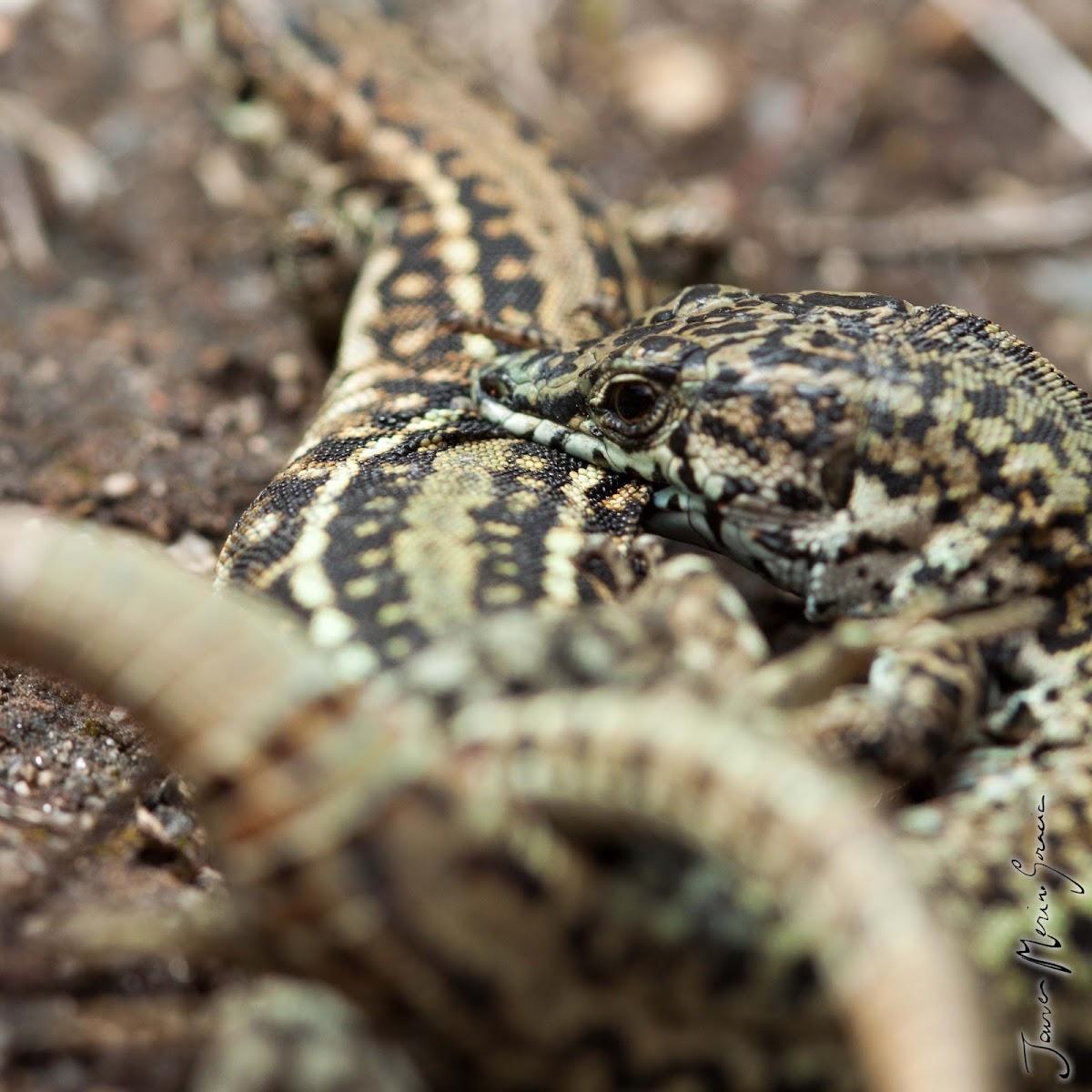 Cyren's Rock Lizard