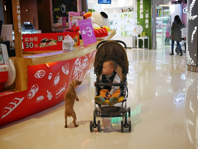small dog standing on its hind legs and looking at a child in a stroller in Changsha
