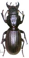 Mecodema spiniferum. Photo: BE Rhode, M-C Larivière. Citation: Larochelle A, Larivière M-C, Rhode BE 2004-2011. Checklist of New Zealand ground-beetles (Coleoptera: Carabidae) - Image gallery. The New Zealand Carabidae, NZC 01.