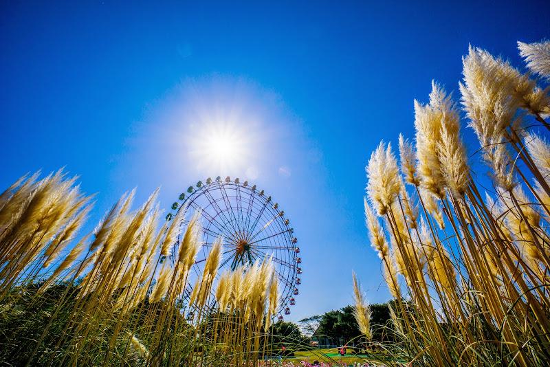 ひたち海浜公園 パンパスグラス 写真3