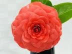 桃紅色 千重咲き 大輪