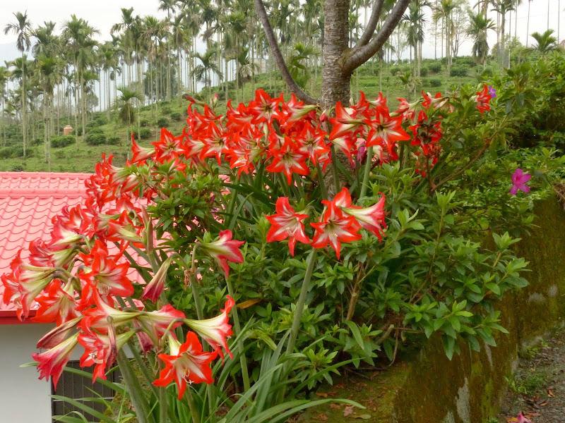 Puli, Nantou county, cueillette de thé - P1050588.JPG