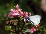 Stor kålsommerfugl, brassicae.jpg