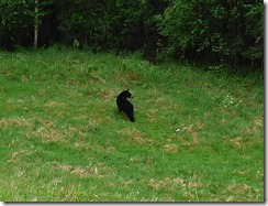Bear North of Muncho Lake