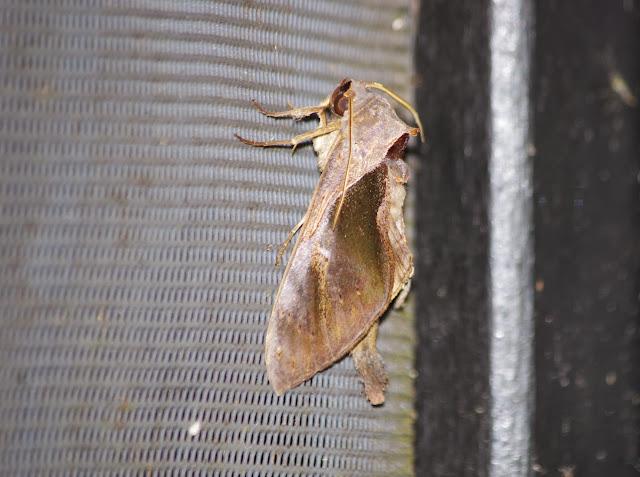 Notodontidae : Crinodes bellatrix [STOLL, 1780]. Tunda Loma Lodge, 100 m (Calderon, Esmeraldas, Équateur), 1er décembre 2013. Photo : J.-M. Gayman