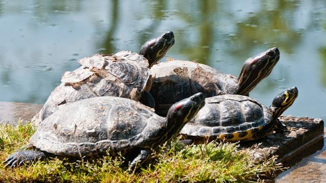 Die Schildkröten am Teich im Kurpark