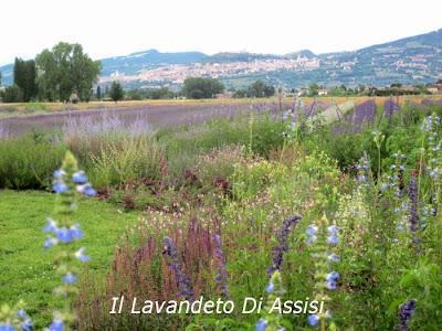 giardini con lunghe fioriture con salvie ornamentali, e lavanda. Panorama assisi