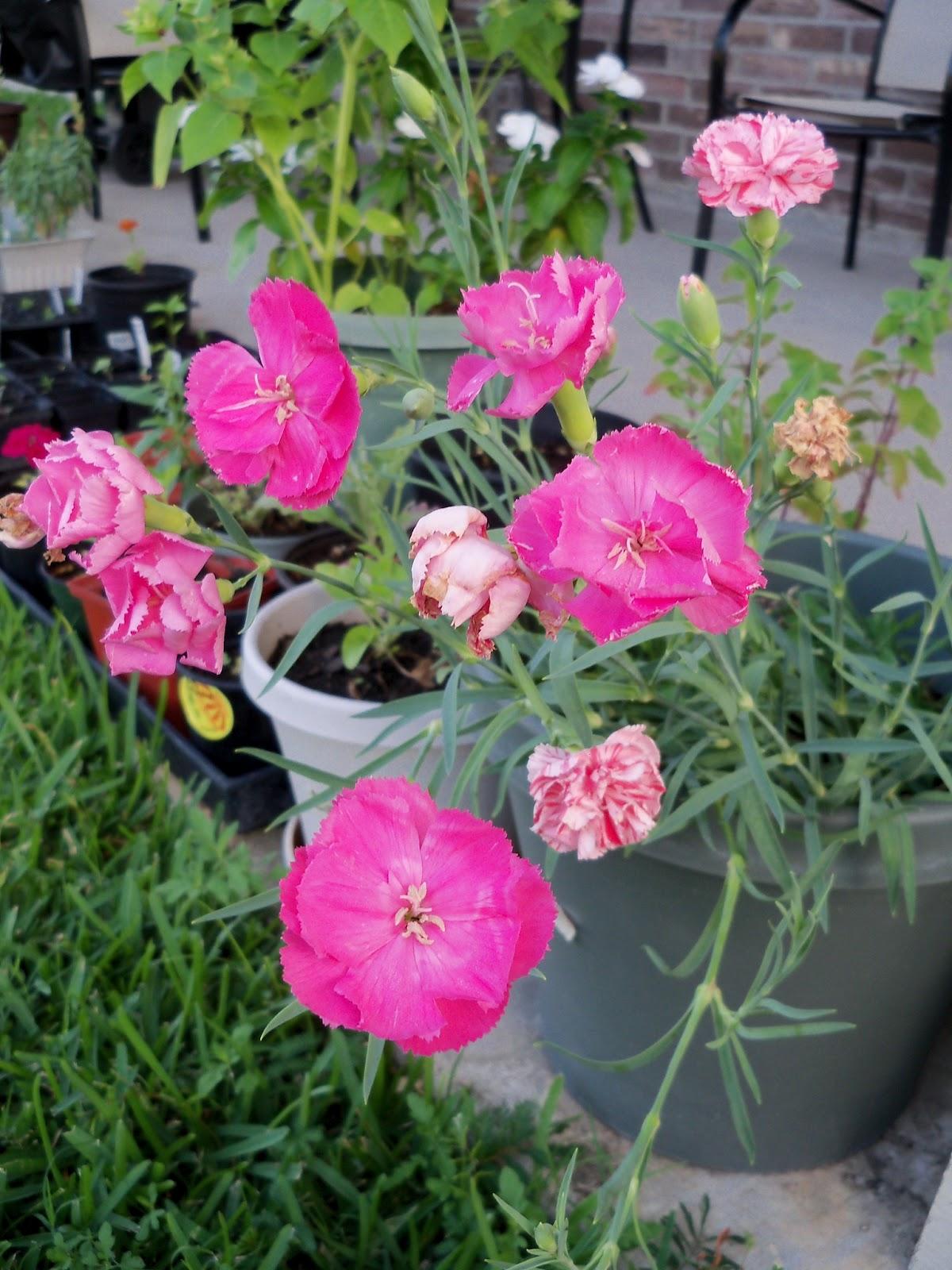 Gardening 2012 - 115_2339.JPG