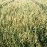 Maher-Farming-10.jpg