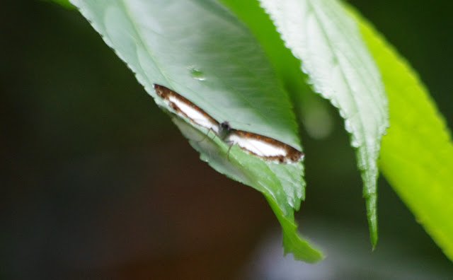 Nymphidium caricae parthenium Stichel, 1924 (?). Río Cravo Sur, Sendero Ecológico La Virgen de La Peña, El Morro, 640 m (Casanare, Colombie), 6 novembre 2015. Photo : J.-M. Gayman