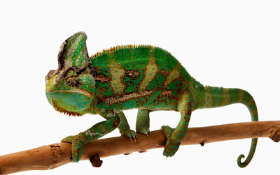 green chameleon on a branch isolated over white background