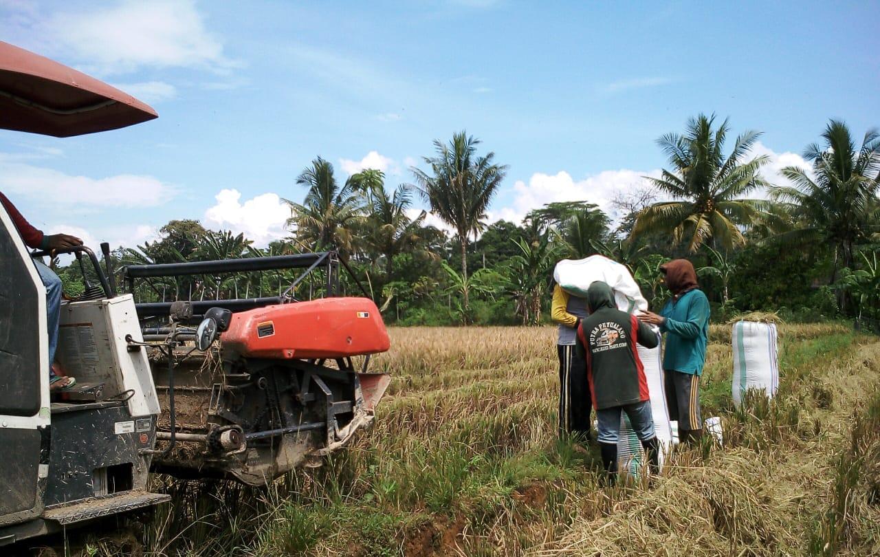 Panen Padi Gunakan Combine Harvester Di Mangkutana, Cara Jitu Petani Menghemat Waktu