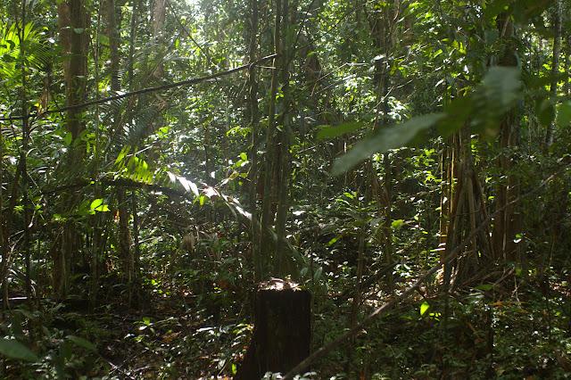La forêt près de Saut Athanase. 19 novembre 2011. Photo : J.-M. Gayman
