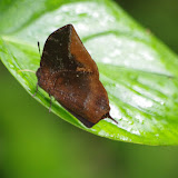 Memphis acidalia memphis (C. Felder & R. Felder, 1867) (?). Quebrada Chirajara, 1050 m (Cundinamarca, Colombie), 10 novembre 2015. Photo : J.-M. Gayman