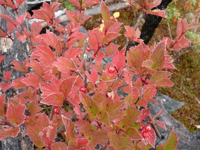 Squashberry (Viorne comestible)