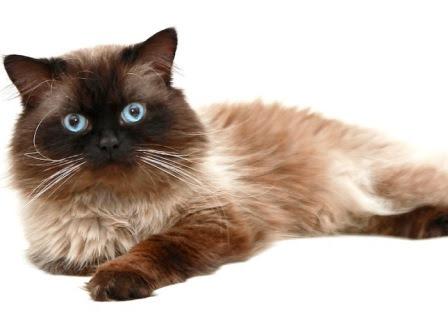 Gambar Kucing Himalaya