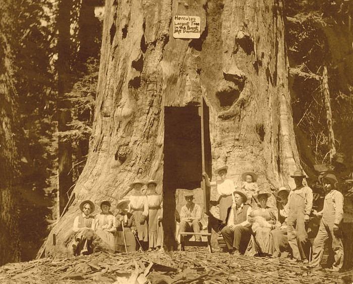 hercules-tree-2