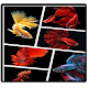 Download type of betta fish For PC Windows and Mac