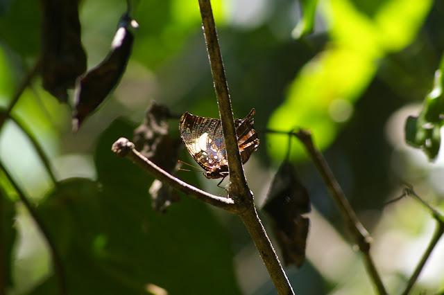 Hypna clytemnestra CRAMER, 1777. Caçandoca (Ubatuba, SP), 21 février 2011. Photo : J.-M. Gayman