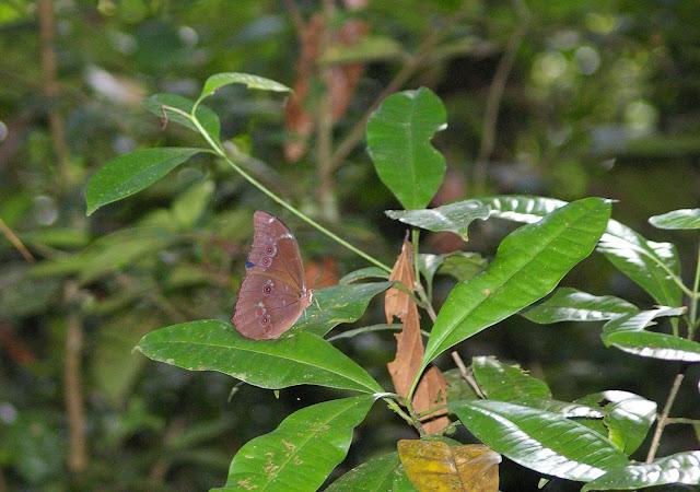 Morpho menelaus LINNAEUS, 1758. Crique Tortue, près de Saut Athanase (Guyane). 22 novembre 2011. Photo : J.-M. Gayman
