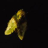 Lasiocampidae : Euglyphis sp. Valle de las Minas, Hornito, cordillère de Talamanca, 1100 m (Chiriquí, Panamá), 27 octobre 2014. Photo : J.-M. Gayman