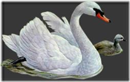 cisnes-buscoimagenes-7_thumb