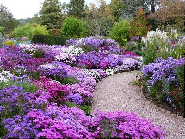 Domande sugli aster aster novi belgii coltivazione aster - Settembrini fiori ...