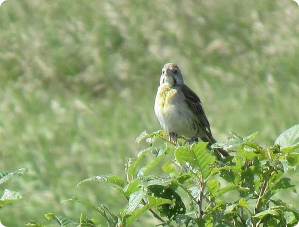IMG_7896 Dickcissel Female Bird (1)
