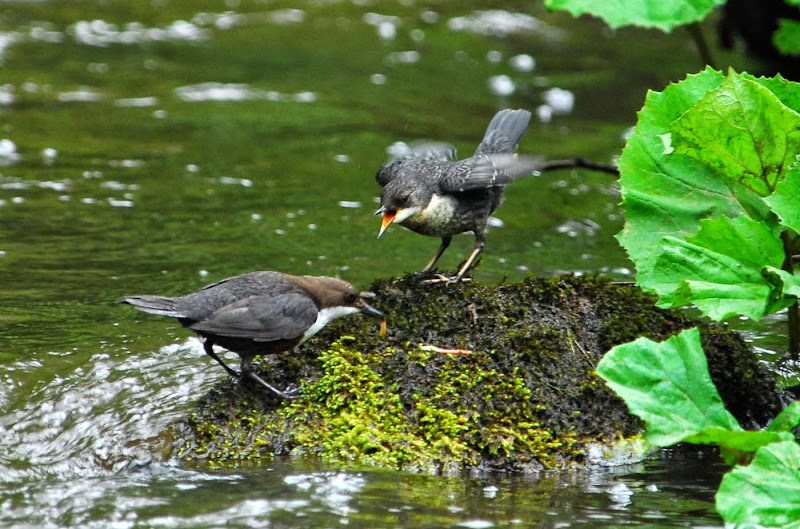 Dipper feeding young - Dave S