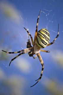 Para ampliar Argiope bruennichi (Araña tigre, cestera) hacer clic