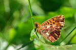 Harlekinperlemorsommerfugl, titania4.jpg