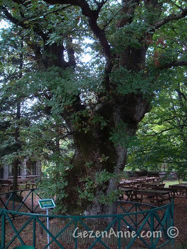 Bolu'daki Koru Otel'in bahçesindeki ağaçlardan