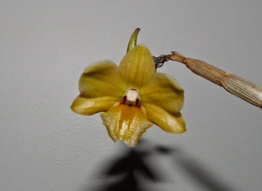 Dendrobium ionopus P1420727